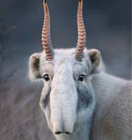 Saiga Antelope