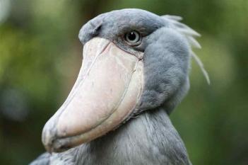 shoebill.jpg