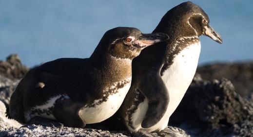 Galapagos Penguin 3