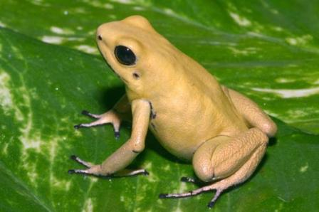 Golden Poison Frog 3