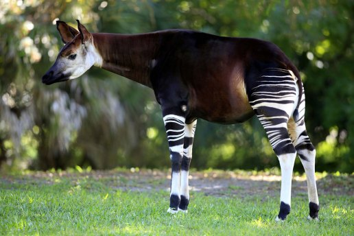 weiblich - female okapi okapis giraffidae mammal mammals animal animals africa african wildlife nature tropics tropical zaire