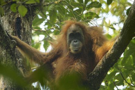 Tapanuli Orangutan F