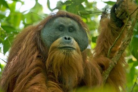 Tapanuli Orangutan M