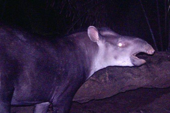 Kabomani Tapir