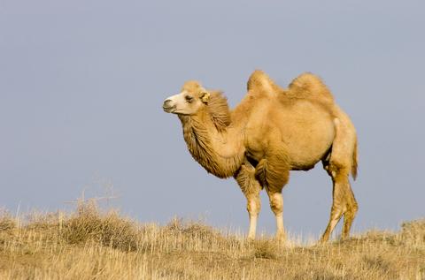 Wild Bactrian Camel 2
