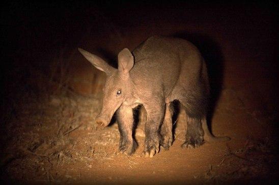Aardvark 2