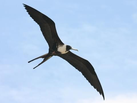 Magnificent Frigatebird 2
