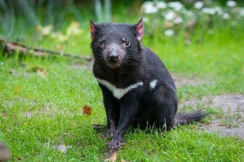 Tasmanian Devil 2