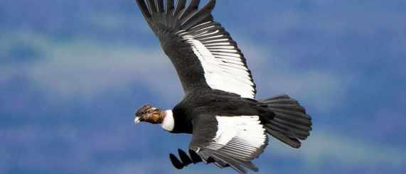 Andean Condor 3