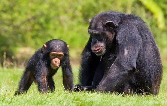 Chimpanzee 2.jpg