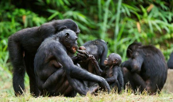 Chimpanzee 3.jpg