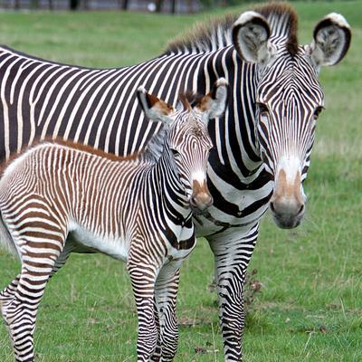 Grévy's Zebra 2.jpeg