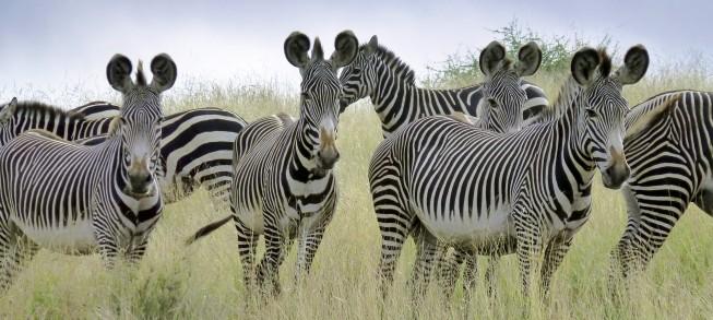 Grévy's Zebra 3.jpg