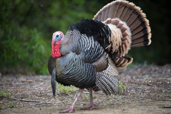 Wild Turkey 2.jpg