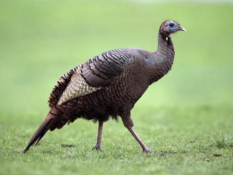 Wild Turkey 3.jpg