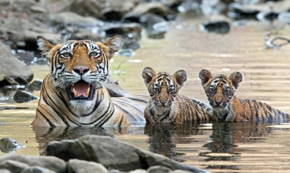Tiger 4.jpg