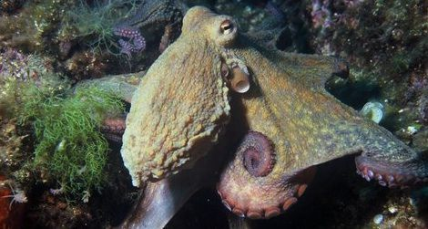 Common Octopus.jpg