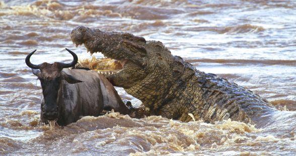 Nile Crocodile 3.jpg