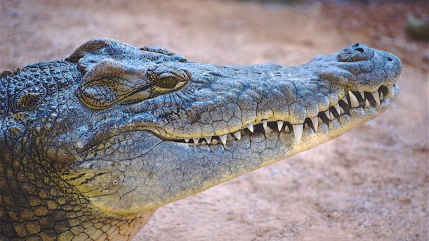 Nile Crocodile.jpg