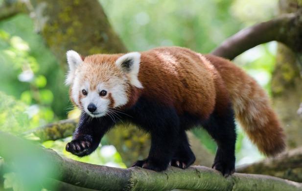 Red Panda 3.jpg