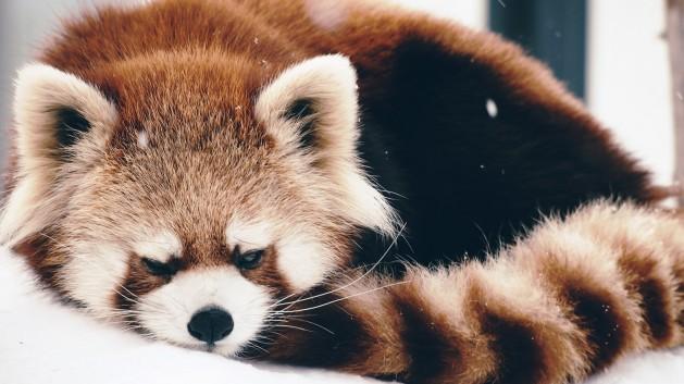 Red Panda 4.jpg