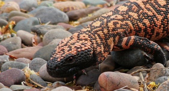 Gila Monster 2.jpg