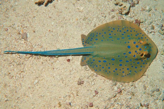 Bluespotted Ray 3