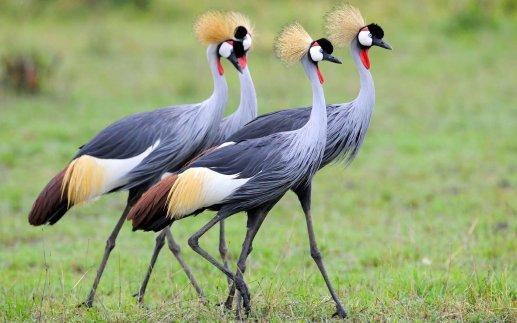 Grey Crowned Crane 2.jpg