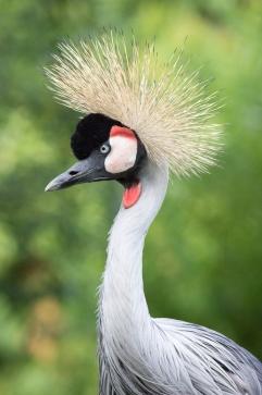 Grey Crowned Crane 3.jpg