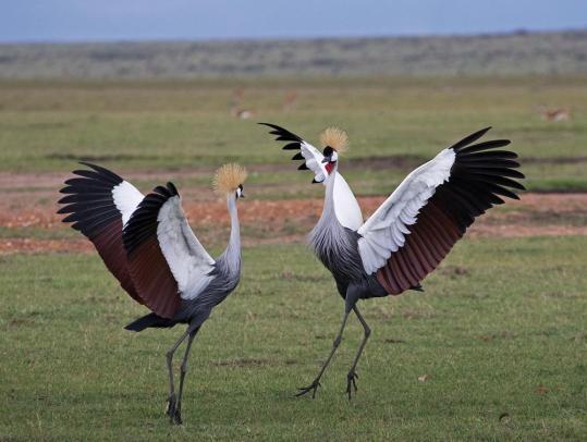 Grey Crowned Crane.jpg