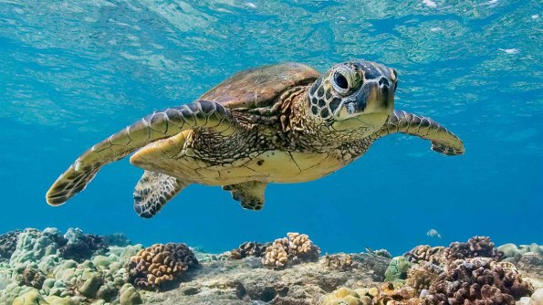 Green Sea Turtle 2.jpg
