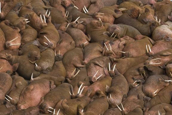 Walrus 4.jpg