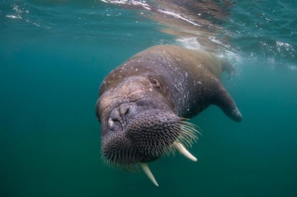 Walrus 5.jpg
