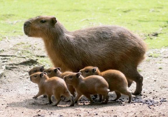 Capybara 6