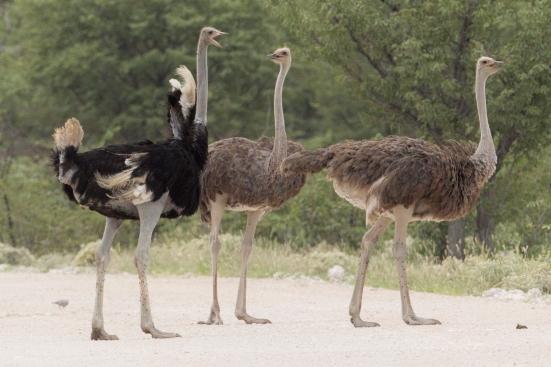 Ostrich 3.jpg