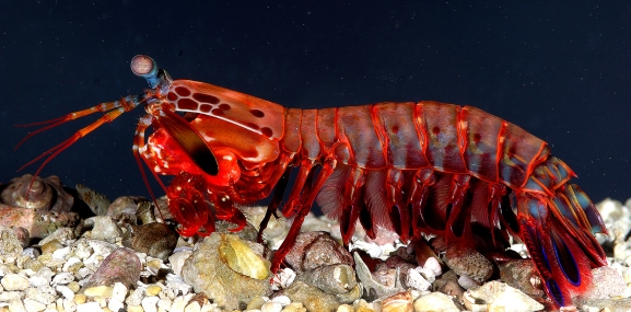 Peacock Mantis Shrimp 3.jpg
