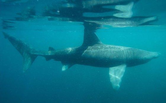 Basking Shark 3.jpg