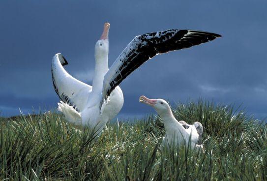 Wandering Albatross 2