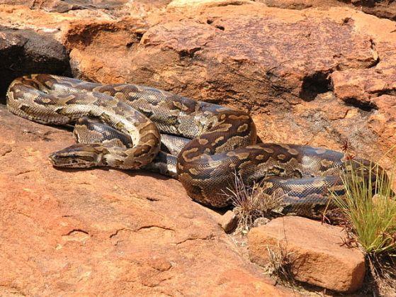African Rock Python 2