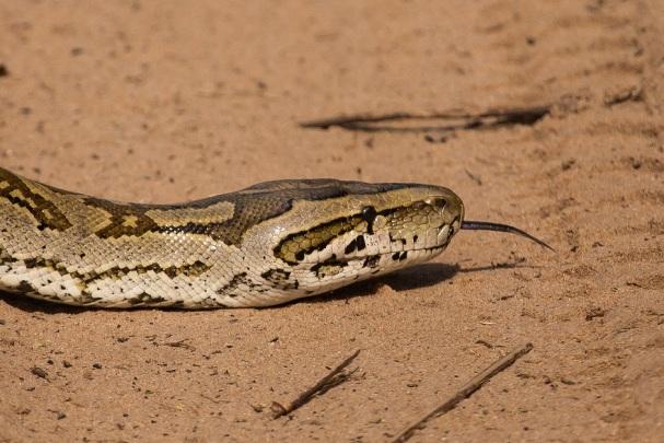African Rock Python.jpg