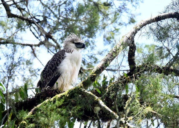 philippine-eagle-3.jpg