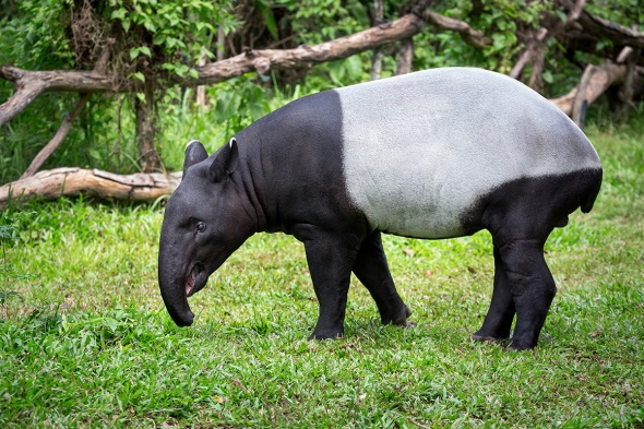 Malayan Tapir 2.jpg