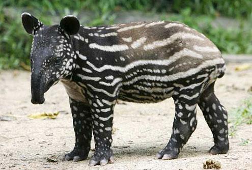 Malayan Tapir 3