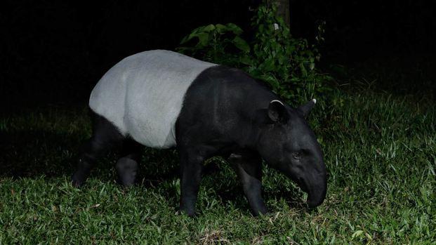 Malayan Tapir 4.jpg