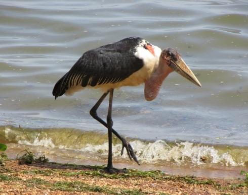 marabou-stork-2.jpg