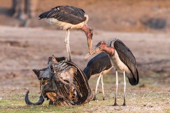 Marabou Stork 3.jpg