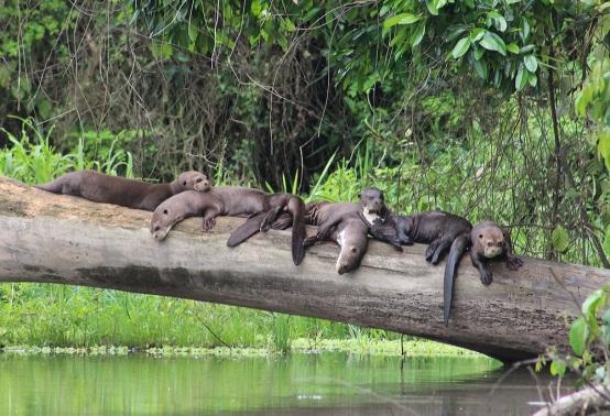 Giant Otter.jpg