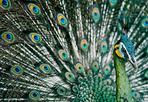 Green Peafowl.jpg