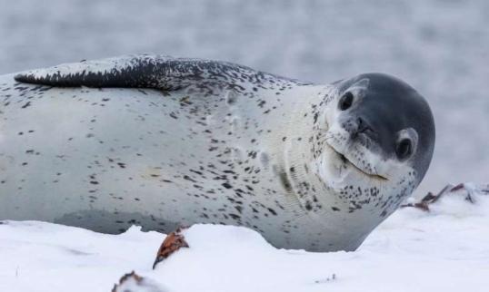 Leopard Seal 2