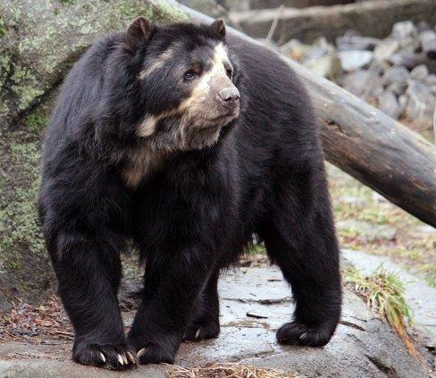 Spectacled Bear 2.jpg